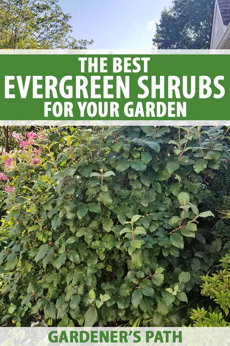The Best Evergreen Shrubs for Your Garden | Gardener's Path Zone Plants Around House on full sun plants, plateau plants, zone 4 trees, evergreen rock garden plants, california plants, usda plants, united kingdom plants, zone 4 architecture, temperature zones for plants, zone 4 vines, garden mums plants, zone 4 landscaping, zone 4 flowers, zone 4 grasses, south dakota plants, san francisco plants, zone 4 gardening, roses plants, zone 4 roses, unknown plants,