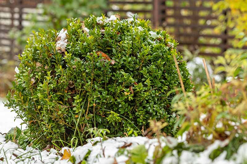 A boxwood shrub lightly covered in snow.