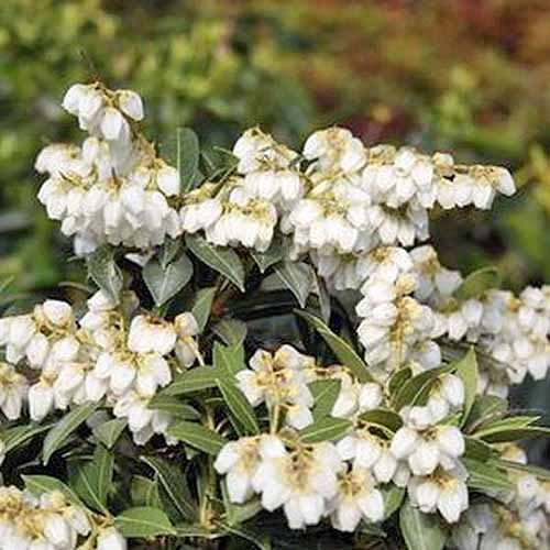 Closeup of 'Cavatine' Pieris with white teardrop-shaped flowers and green leaves.