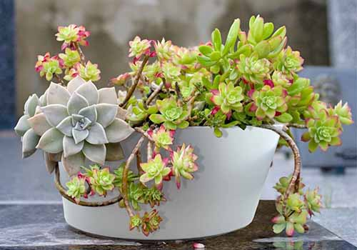 A round, white planter filled iwth succulents, on a gray surface with a light brown background.