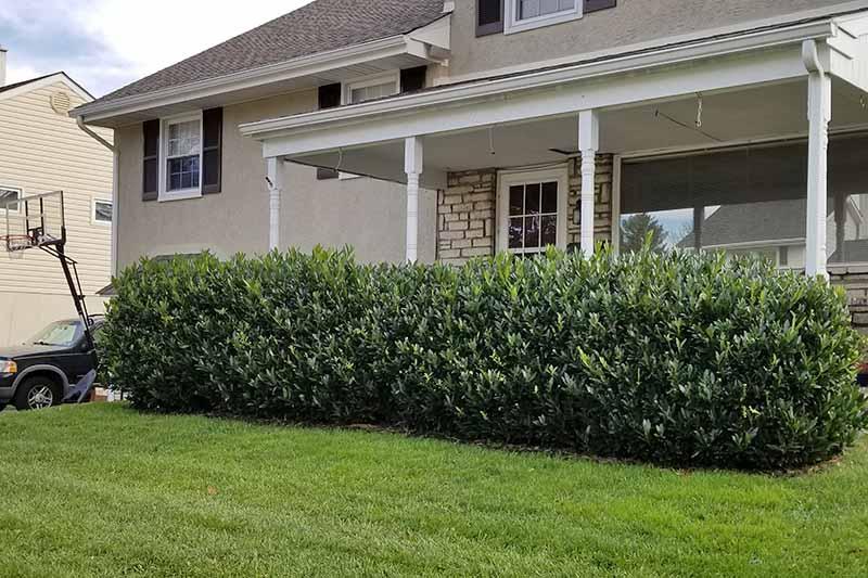 The Best Evergreen Shrubs For Your Garden Gardener S Path