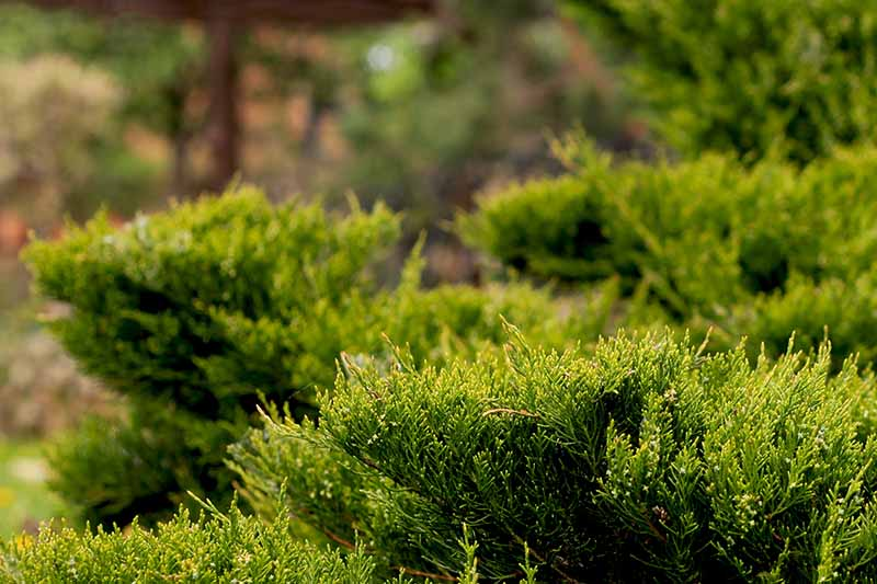 Closeup image of the green foliage of Cossack juniper (Juniperus sabina).