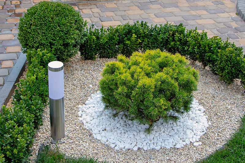 Dwarf mountain pine (Pinus mugo var. 'Pumilio' growing in a rock garden with other shrubs and a landscaping light.