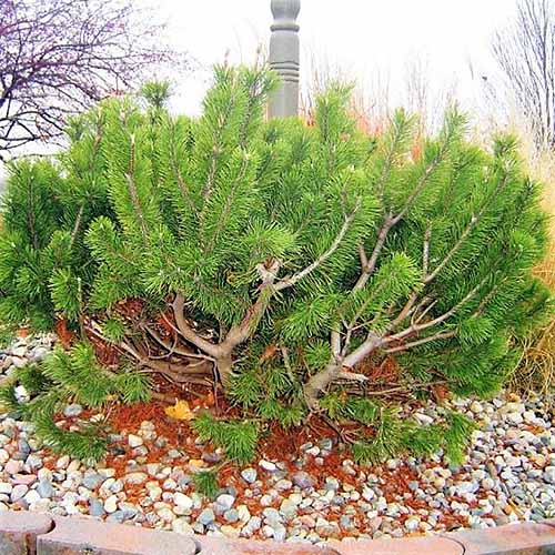 Dwarf mugo pine with upright branches, growing in a garden bed with white stone and bordered with brick.