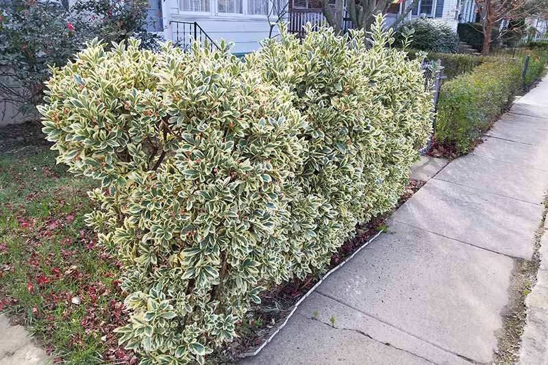 A green and white variegated Euonymus shrub cut into a hedge next to a sidewalk in front of a house with white siding.