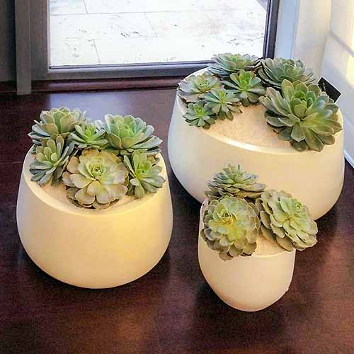 Square image of three white planters in various sizes, filled with succulent plants, on a brown wood surface in front of a window.