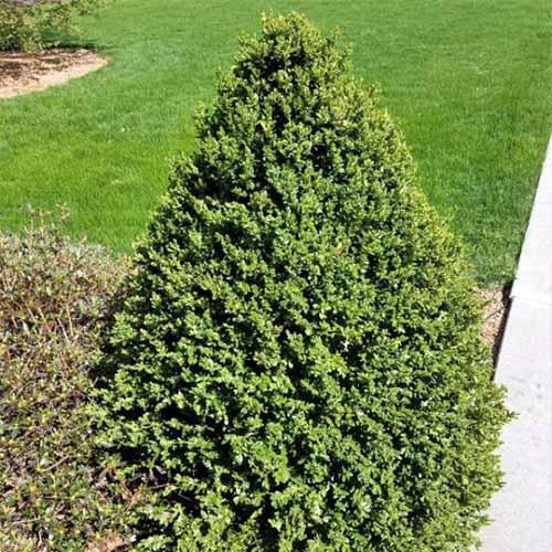 The Best Evergreen Shrubs For Your Garden