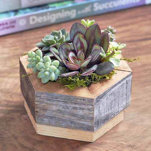 Square image of a hexagonal wood planter filled with succulents and moss, on a wood surface with gardening books in the background.
