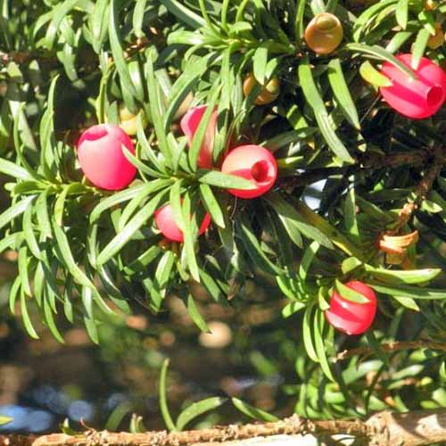 Closeup of green needles and red berries on a Hicks yew shrub, in bright sunshine.
