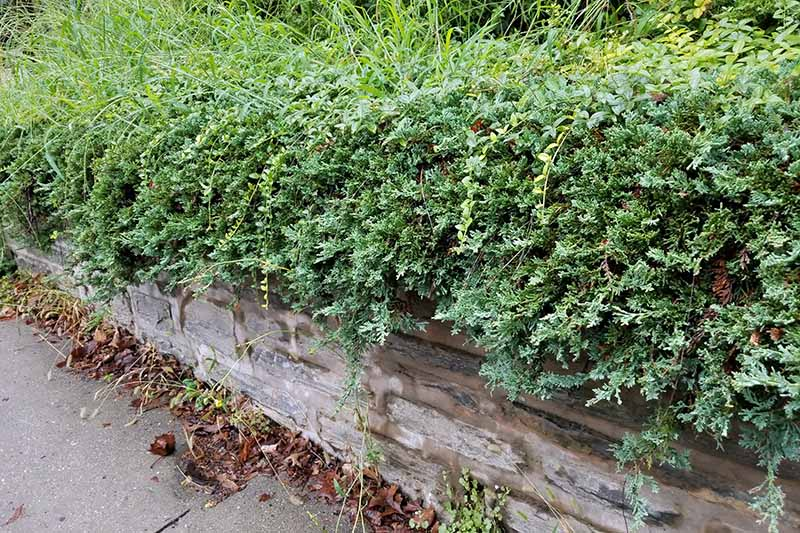 Juniper growing inside a garden bed and over the edge of a wooden retaining wall beside a sidewalk with scattered fall leaves.