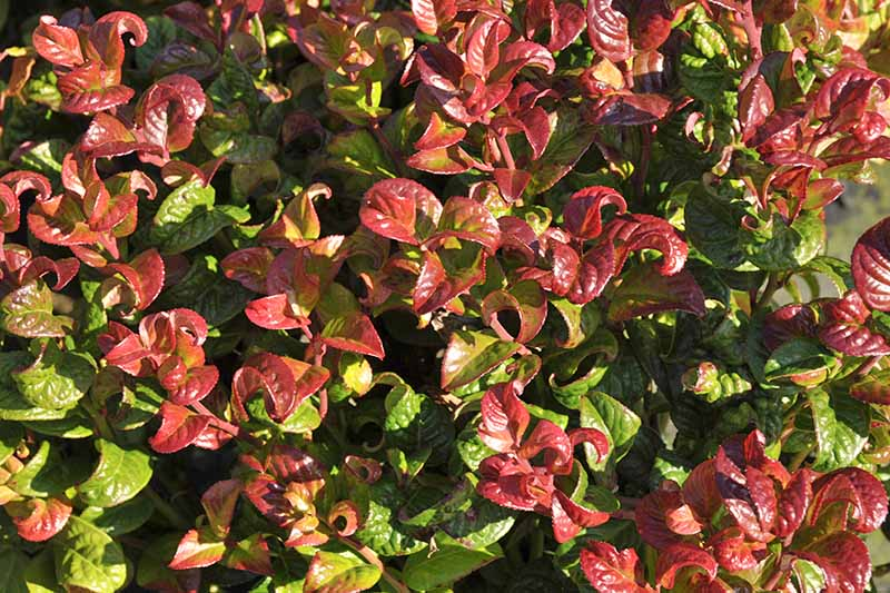 Closeup of the curly burgundy and green leaves of Leucothoe axillaris 'Curly Red.'