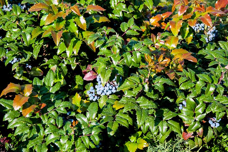 Closeup of the green and golden leaves and blue berries of a mahonia plant.