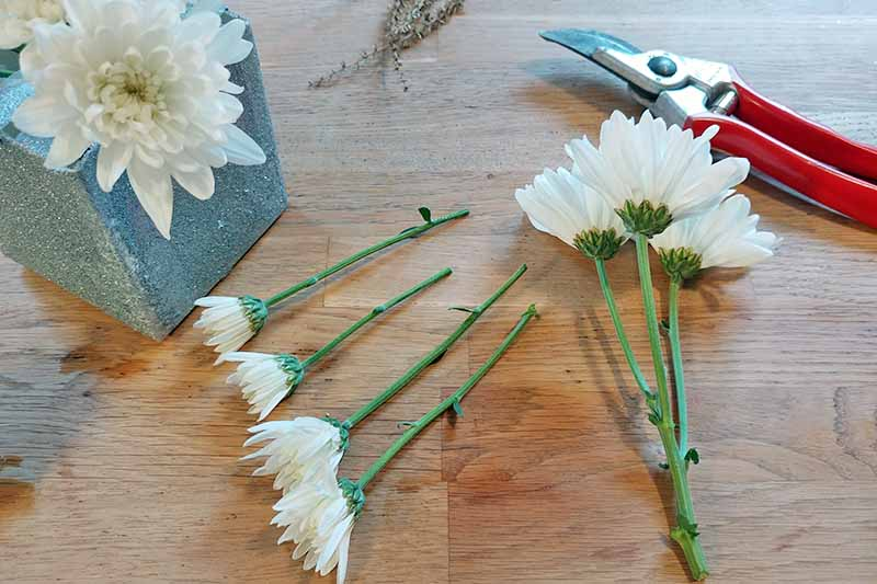 White mums cut to various lengths and arranged in a square silver homemade planter, with a red and silver pair of garden pruners, on a wood surface.