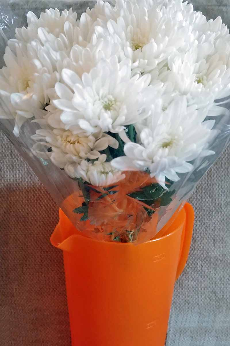 A cellophane-wrapped bouquet of white chrysanthemums, set in an orange plastic pitcher of water, o a gray background.