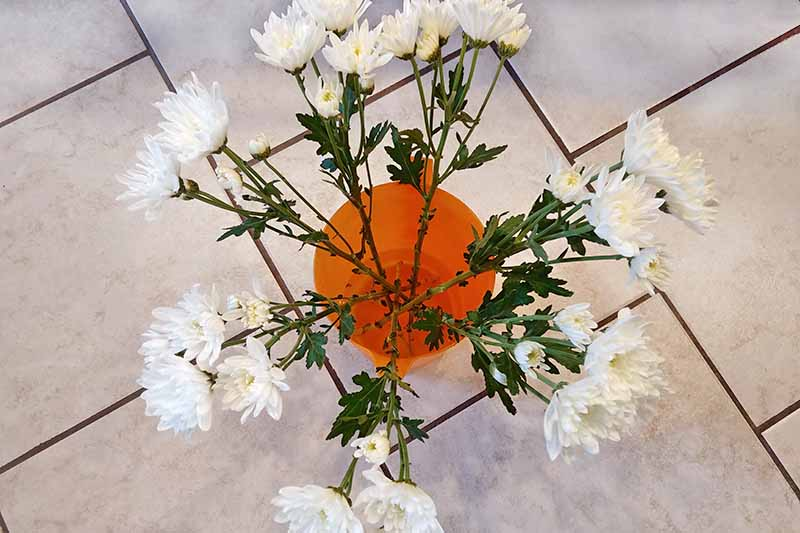 Overhead shot of long-stemmed white mums in an orange plastic pitcher of water, on a cream-colored tile floor.
