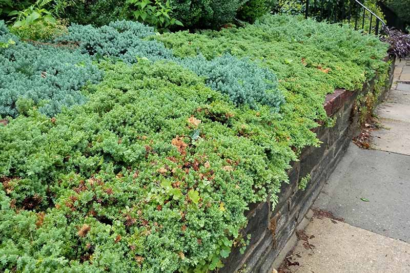 Blue and green juniper growing in a carpet in a garden bed with a wood retaining wall, with a sidewalk to the right.