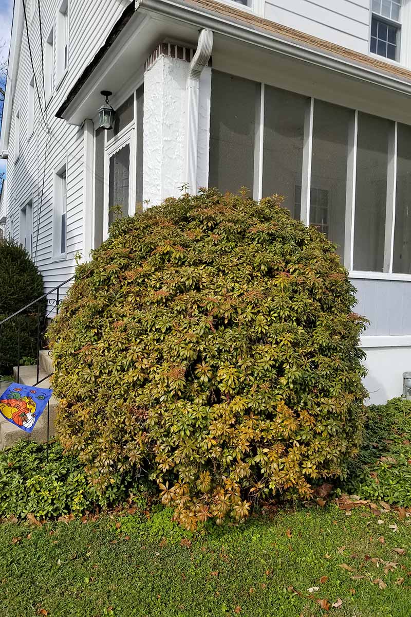 A rounded trimmed Pieris japonica shrub with green leaves, growing in front of a white house.