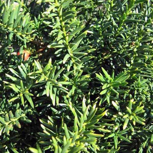 Closeup of 'Taunton' spreading yew needles in bright sunshine.