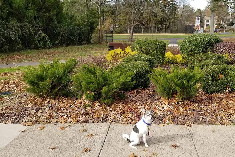 A small dog sits on the sidewalk in front of a garden plot planted with several small evergreen shrubs, with a dry leaf cover and more plants and trees growing beyond the lawn in the background.
