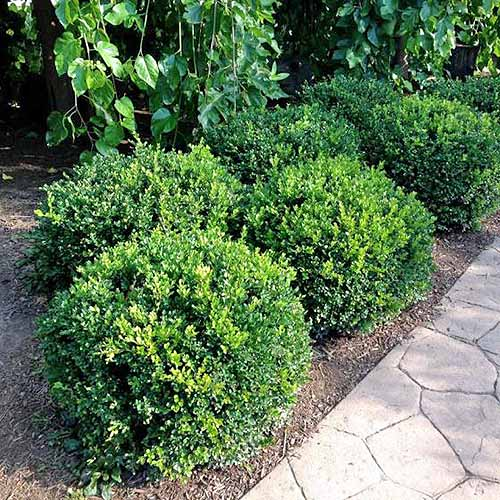 Six 'Winter Gem' boxwoods cut into spherical shapes low to the ground, in a garden bed next to a stone path.