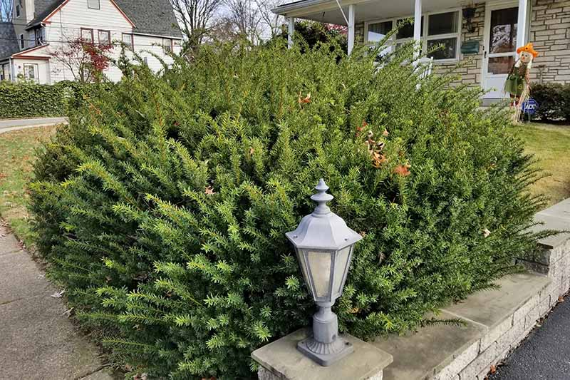 A large yew with a natural habit, planted between a white porch on the front of a house and a stone wall with a metal and glass lamp on the corner pedestal.