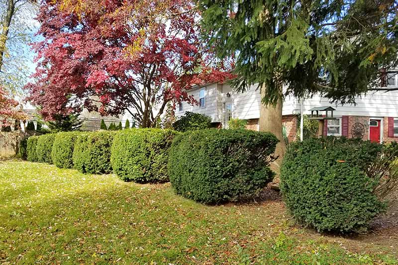 Rounded trimmed yew bushes in a row planted in a lawn in front of a house with an evergreen and a red Japanese maple tree.