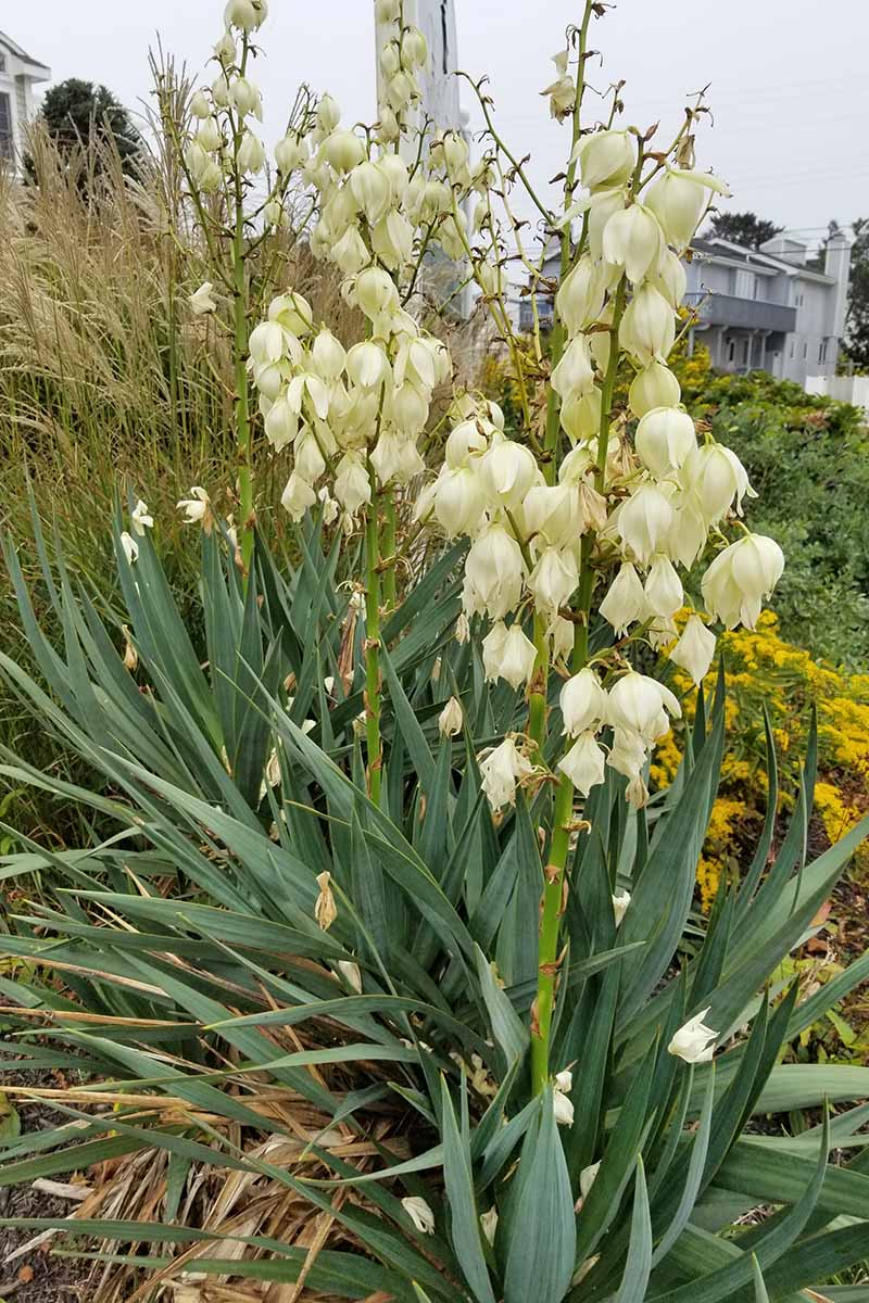 Vetical image of a yucca plant with sharp leaves and large white flowers on tall stalks, with other types of foliage in the background.