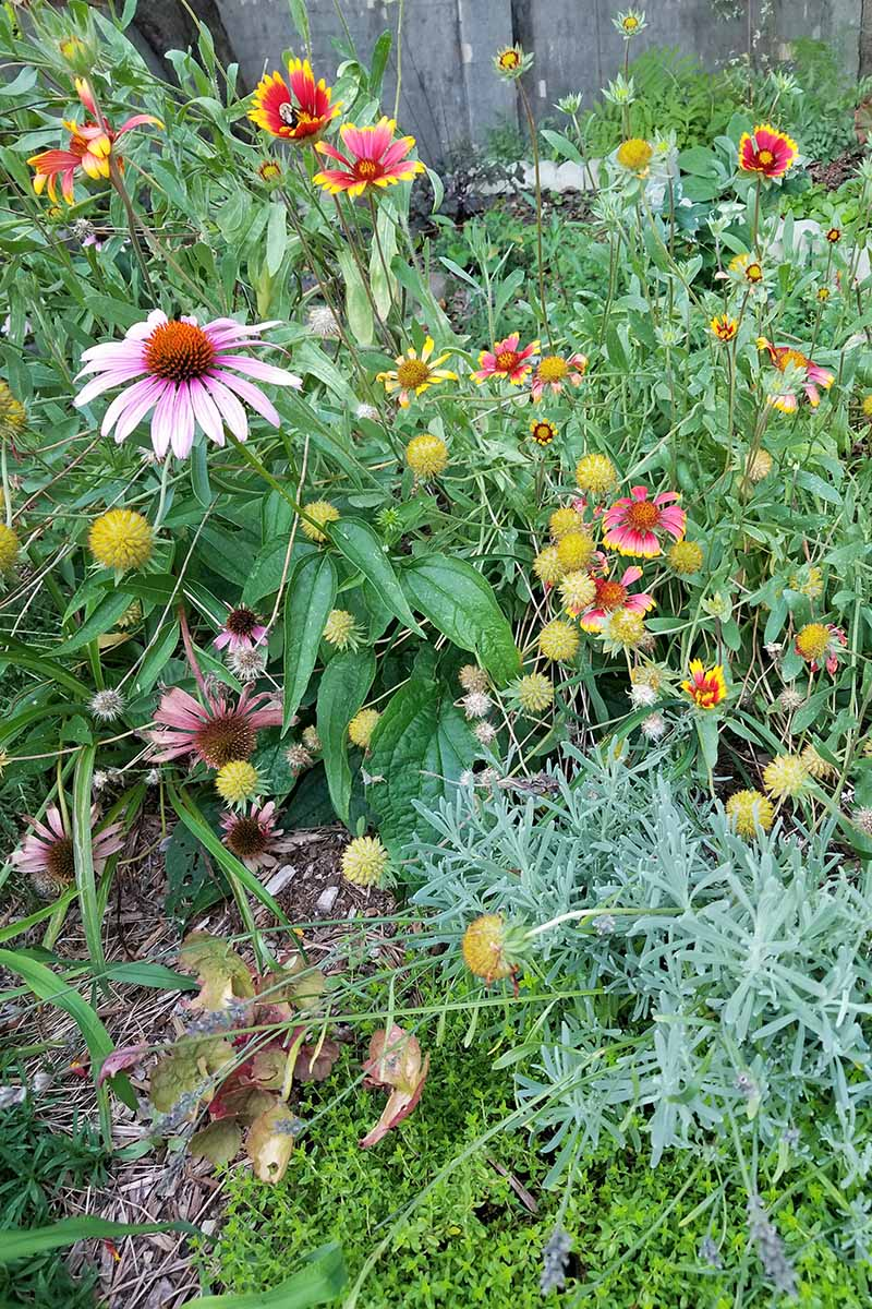 Gaillardia, echinacea, and other plants growing in the garden.