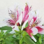 Pink and white Peruvian lily flowers with green stems and leaves, on an off-white background.