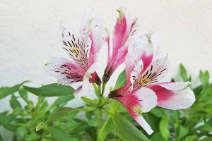 How to Grow and Care for Alstroemeria (Peruvian Lily)