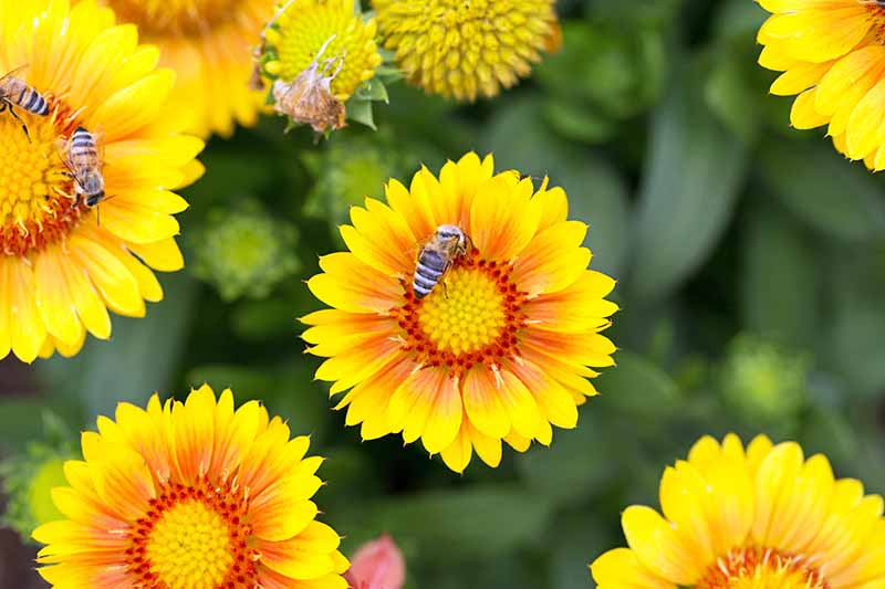 Overhead image of several blooming 'Arizona Apricot' gaillardia flowers, being pollinated by bees.