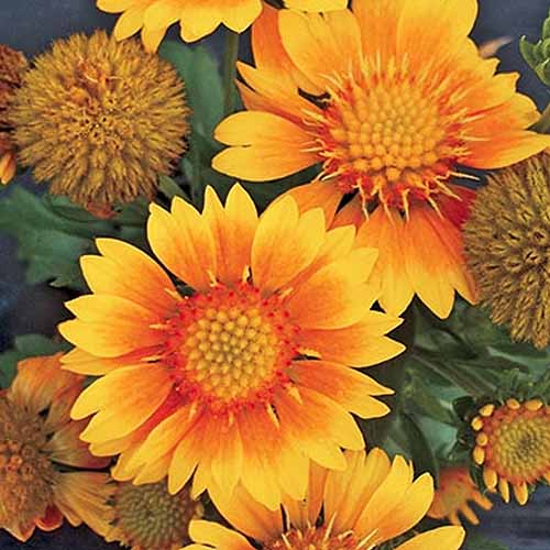 Square closeup overhead image of 'Arizona Apricot' blanket flowers with orange blooms.