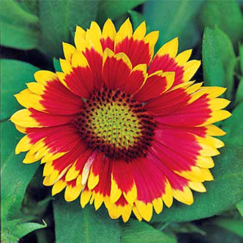 Square overhead closeup image of a yellow and red 'Arizona Sun' blanket flower with green leaves.