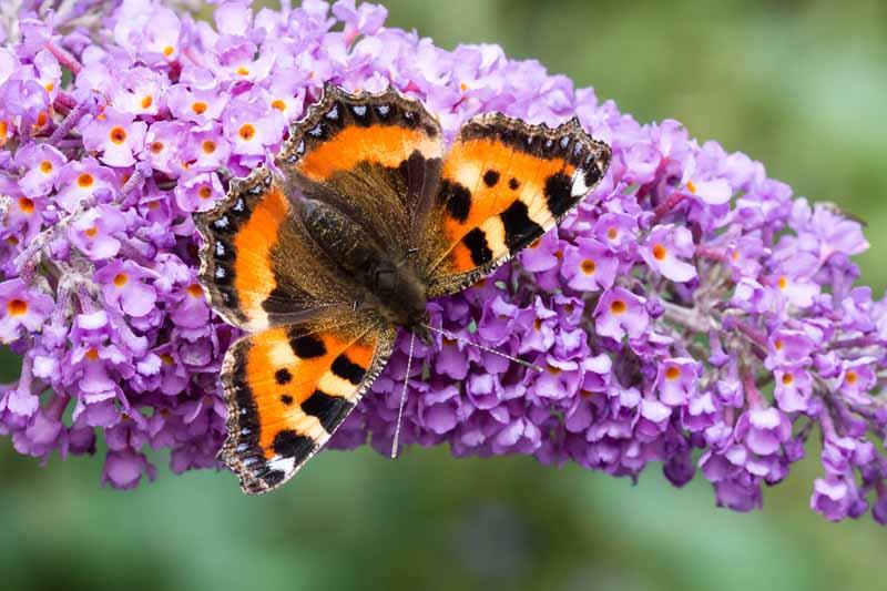 Orange butterfly feeding on purple Buddleia flower.
