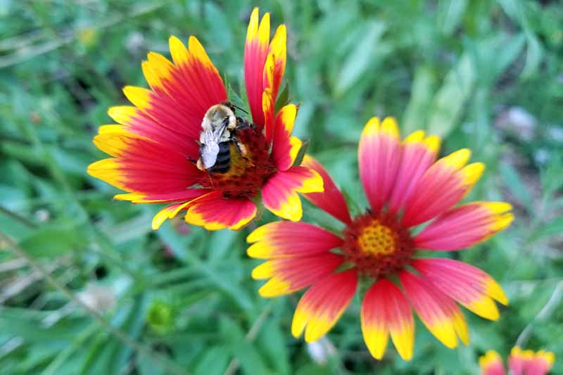 Closeup image of a bee pollinating red and yellow blanket flowers, with a green foliage background in soft focus.