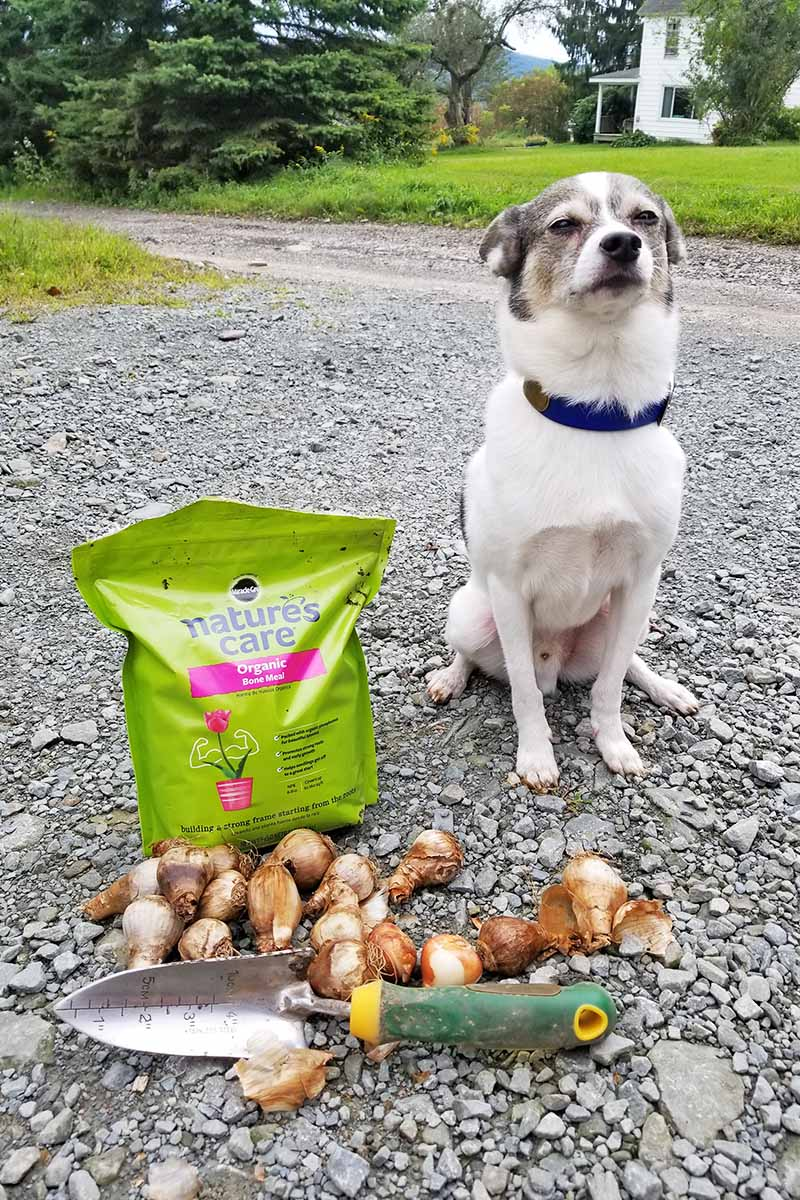 Vertical image of a dog with his ears back, next to a plastic bag of organic bone meal fertilizer, a pile of flower bulbs, and a garden spade with a green and yellow handle, on a gravel driveway with green lawn, an evergreen tree, and a house in the background.