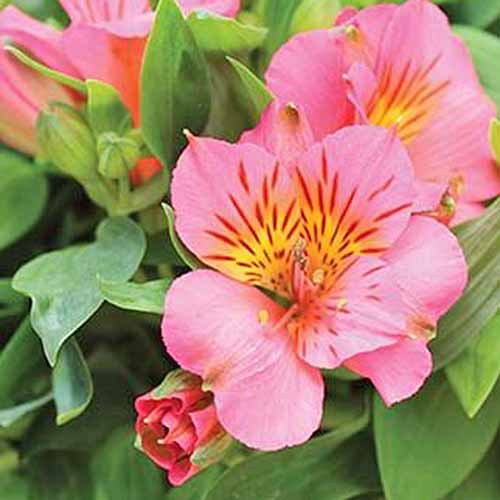 How To Grow And Care For Alstroemeria Peruvian Lily Gardener S Path