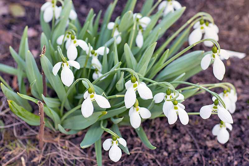 Oblique overhead shot of white Galanthus flowers with green leaves, growing in soil topped with brown leaf mulch.