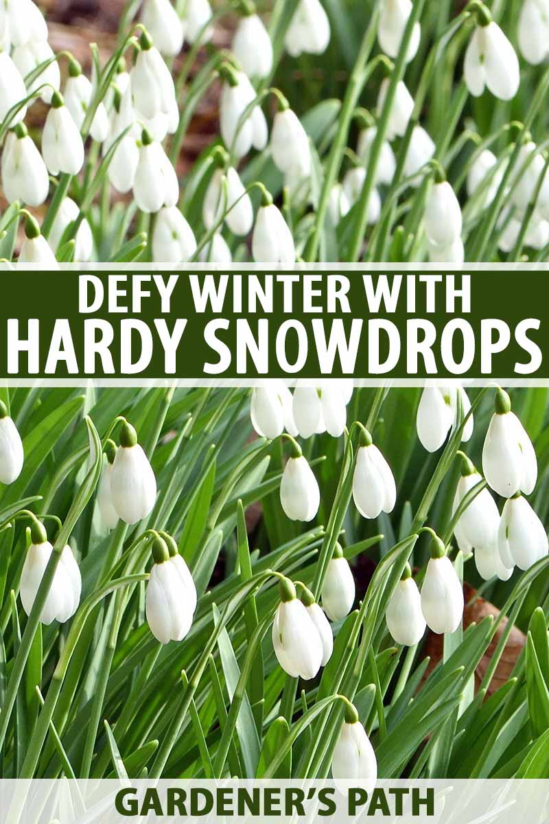 How To Grow Snowdrop Flowers Galanthus Gardener S Path