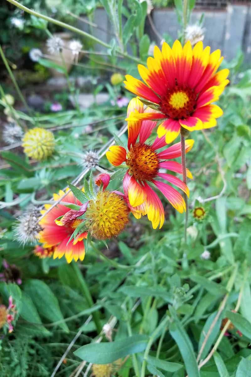 Vertical image of red and yellow blanket flowers with narrow green leaves, growing in the garden.