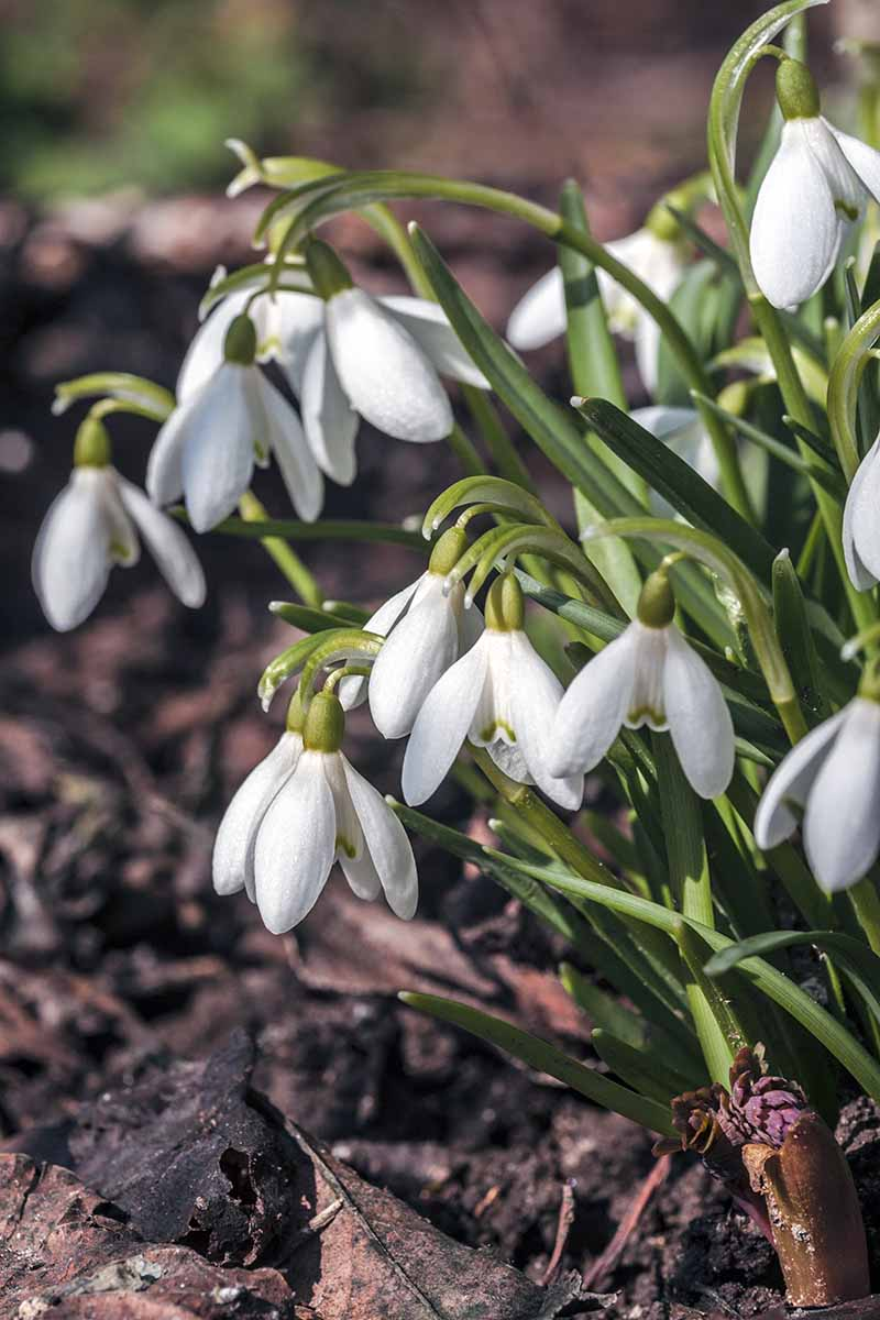 Vertical image of white snowdrop flowers with white petals in groupings of three and green leaves, growing in brown mulch-covered soil.