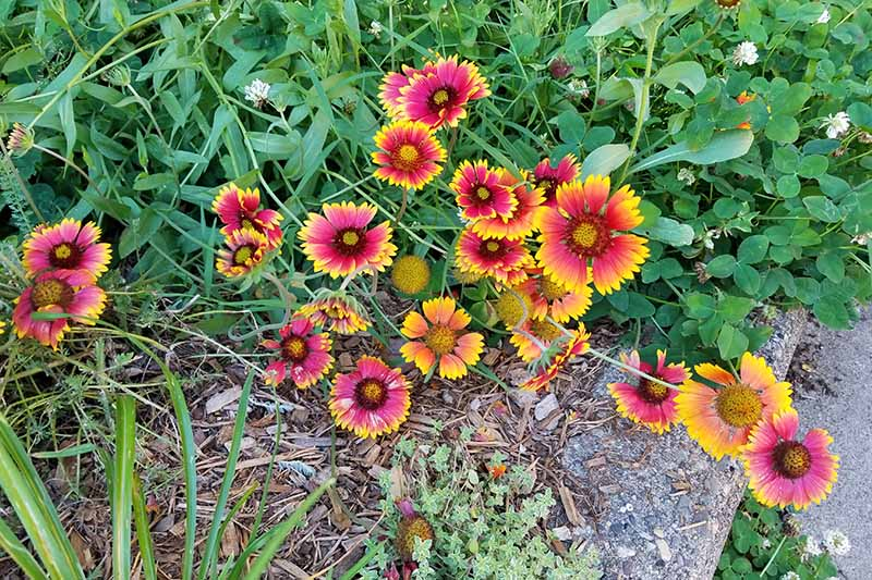 Red and yellow gaillardia growing in the garden, with green leaves, leaning over a mulched path.