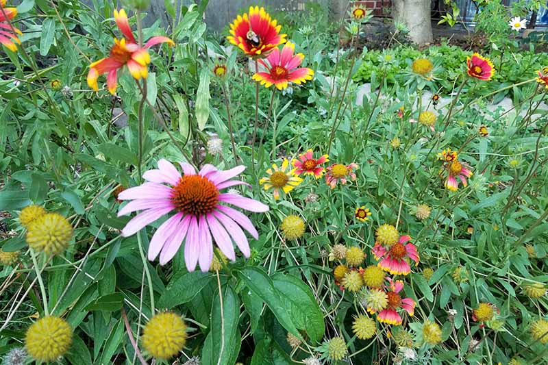 A purple coneflower and red and yellow blanket flowers, with seed heads and green foliage.