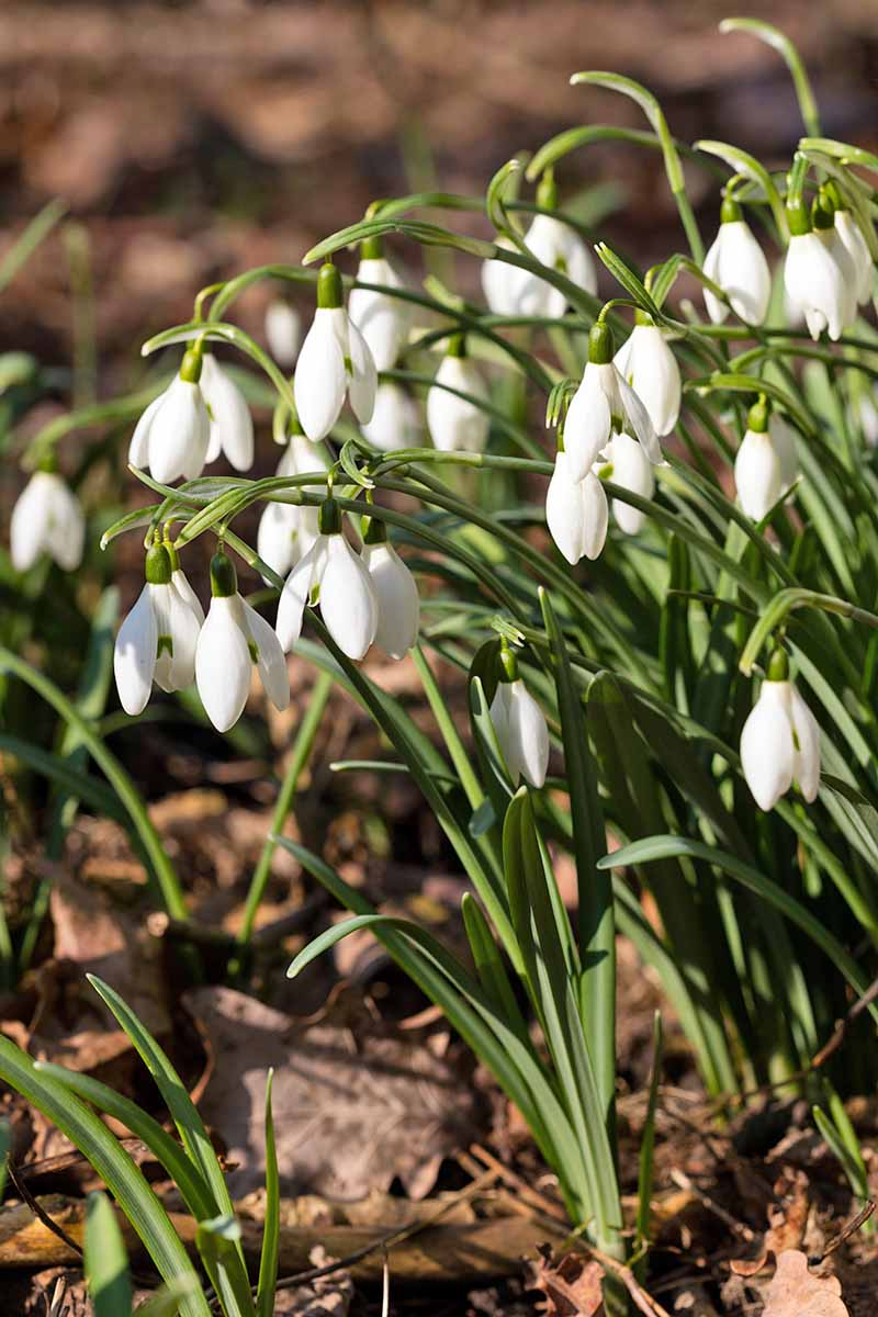 Vertical image of white Galanthus flowers with green stems and leaves, growing in earth topped with brown, dry, dead leaves, in bright sunshine.
