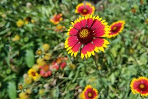 Grow Gaillardia, a Gorgeous Perennial That Adds Color to the Garden