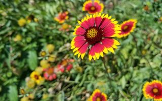 A large red and yellow blanket flower surrounded by smaller blossoms and green foliage, in bright sunshine.