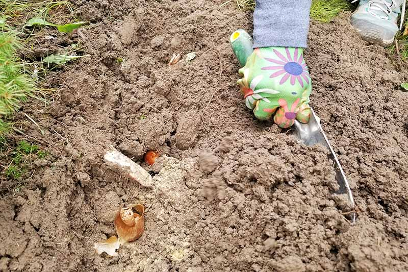 An arm wearing a gray sleeve and a hand clothed in a green glove with pink, orange, and purple flowers holds a garden spade with a yellow and green handle and spreads soil over newly planted bulbs, with grass to the left of the frame.