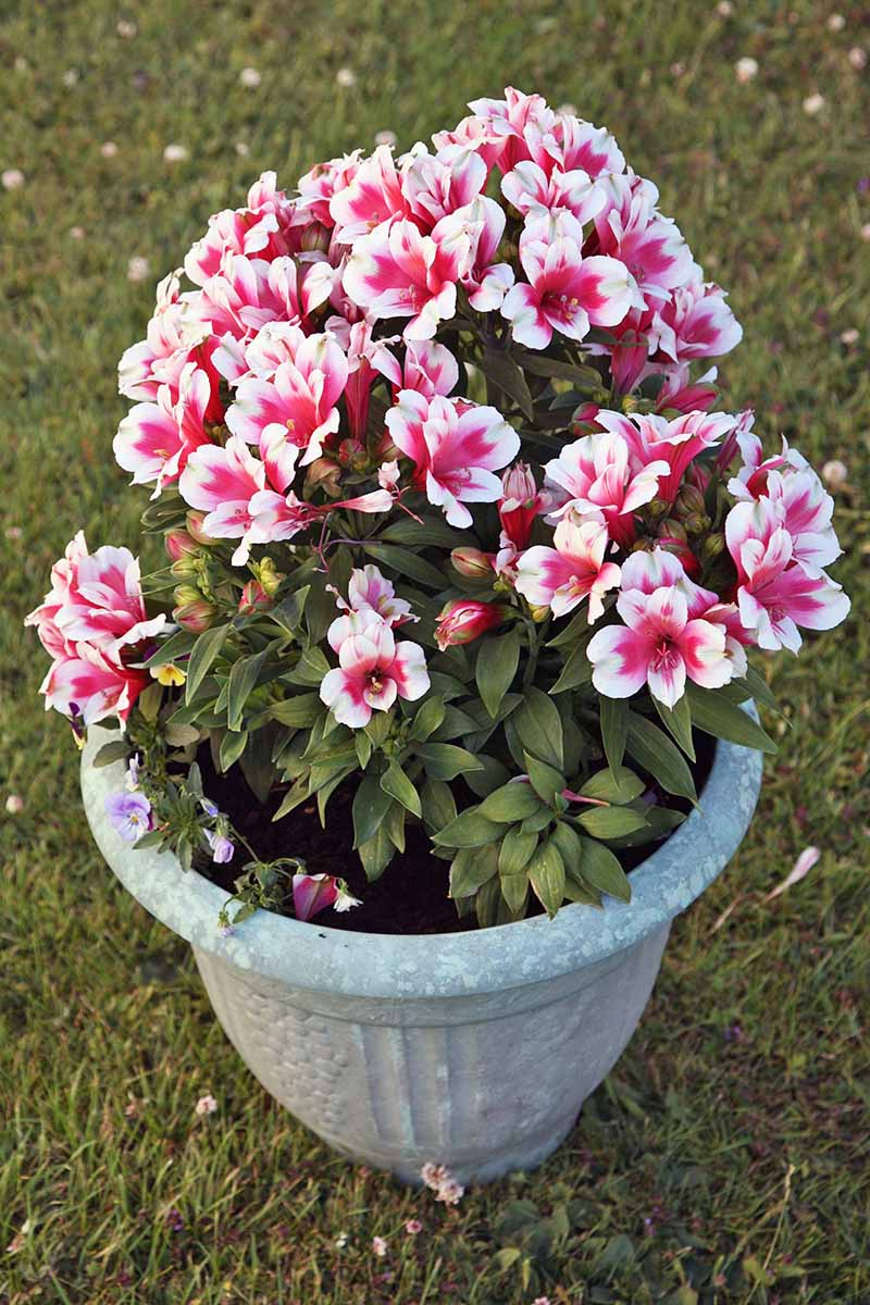 Vertical image of a potted pink and white Peruvian lily plant with many blooms.