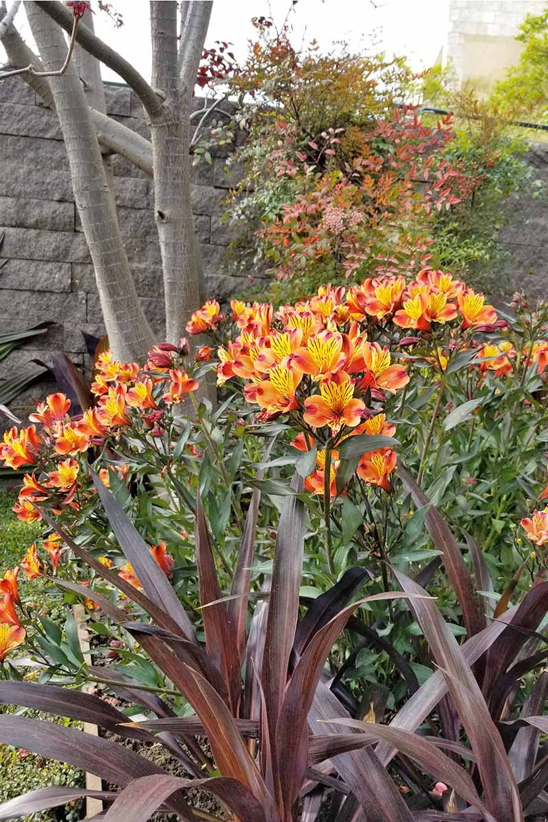 Orange and yellow alstroemeria growing in the background of a flower bed, with brownish red ornamental grasses and other plants.
