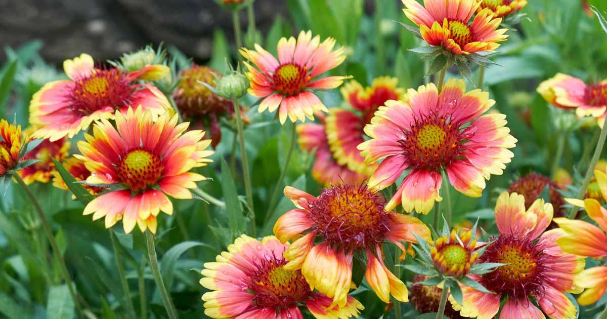 How To Grow Gaillardia Blanket Flower Gardener S Path